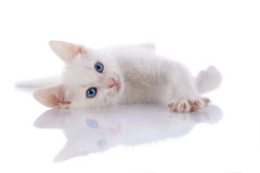The white kitten with blue eyes lies on a white background. Stock Image