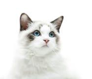 White kitten with blue eyes portrait Royalty Free Stock Photos