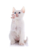 The white kitten with blue eyes sits with the raised paw. Stock Photos