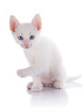 The white kitten with blue eyes sits on a white background. Stock Photo