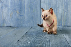 White kitten at blue wood. White funny kitten at blue wood background, copy space royalty free stock photography