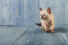 White kitten at blue wood. White funny kitten at blue wood background, copy space royalty free stock image