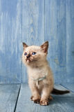 White kitten at blue wood. White funny kitten at blue wood background Vertical royalty free stock images