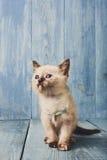 White kitten at blue wood. White funny kitten at blue wood background Vertical stock photo
