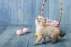 White kitten at blue wood. White funny kitten look up play with pink wool ball and straw basket. Playful small cat at blue wood background Royalty Free Stock Photos