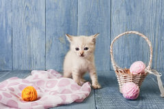 White kitten at blue wood. White funny kitten with pink wool ball and straw basket. Playful small cat at blue wood background Stock Photography