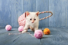 White kitten at blue wood. White funny kitten play with pink wool ball and straw basket. Playful small cat at blue wood background Royalty Free Stock Photo