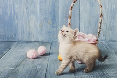 White kitten at blue wood. White kitten with wool ball and straw basket play at blue wood background. Small funny cat Royalty Free Stock Photo