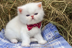 White kitten. With a bow with polka dots in the hay Royalty Free Stock Image