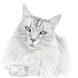 White kitten cat. Cute adorable white pet kitten cat. Maine coon stock images