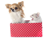 White kitten and chihuahua Stock Photos