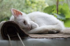 White kitten curled up and sleeping