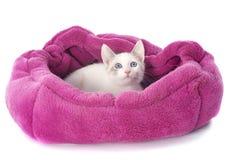 White kitten in cushion Royalty Free Stock Photo