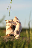 White kitten dancing. White kitten play with grass in stump Royalty Free Stock Photography