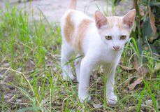 White kitten. White domestic kitten walking on garden Stock Image