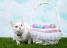 White kitten with easter basket on grass. White kitten with heterochromia wearing a purple collar with bell crouched in green grass next to white basket full of Stock Image