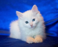 White kitten with eyes of different colors Royalty Free Stock Image