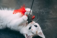 White kitten fights with mouse toy stock photography
