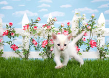 White kitten in a flower garden. Small thin white kitten walking in grass, looking at viewer. White picket fence with pink and red roses with white flowers, blue Royalty Free Stock Photos
