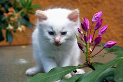 White kitten and a flower. Royalty Free Stock Images