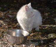 White Kitten and Food Bowl Royalty Free Stock Photos
