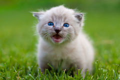 White kitten on the grass. Selective focus Royalty Free Stock Photo