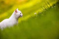 White kitten in grass Stock Image