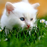 White kitten in grass Stock Images
