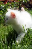 White kitten in grass Royalty Free Stock Photo