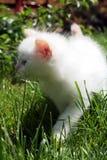White kitten in grass Royalty Free Stock Photo