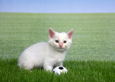 White kitten in grass with a miniature soccer ball. One white kitten with a miniature soccer ball playing in green grass, field of grass behind to skyline. Fun Stock Images