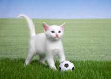 White kitten in grass with a miniature soccer ball. One white kitten with a miniature soccer ball playing in green grass, field of grass behind to skyline. Fun Stock Photo