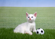 White kitten in grass with a miniature soccer ball. One white kitten with a miniature soccer ball playing in green grass, field of grass behind to skyline. Fun Stock Photos