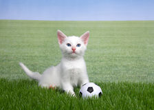 White kitten in grass with a miniature soccer ball. One white kitten with a miniature soccer ball playing in green grass, field of grass behind to skyline. Fun Royalty Free Stock Photo