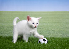 White kitten in grass with a miniature soccer ball. One white kitten with a miniature soccer ball playing in green grass, paw on ball, field of grass behind to Royalty Free Stock Photos