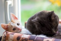 A white kitten and a gray cat lie in a basket. Home royalty free stock photography