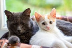 A white kitten and a gray cat lie in a basket. Home stock photos