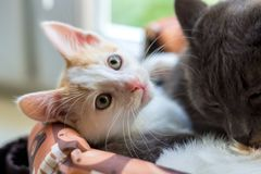 A white kitten and a gray cat lie in a basket royalty free stock images