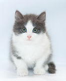 White kitten with gray spots and green eyes sitting Royalty Free Stock Images