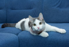 White kitten with gray spots lying Stock Photography