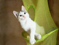 White kitten with gray spots thoughtfully swinging Stock Photos