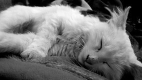 White Kitten in Grayscale Royalty Free Stock Image