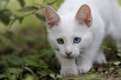 White kitten. With green and blue eyes Stock Photography