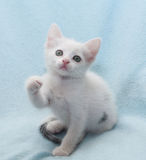 White kitten with green eyes, raise the presser foot. Looking up Stock Image