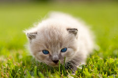 White kitten on a green lawn Royalty Free Stock Images