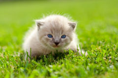White kitten on a green lawn Royalty Free Stock Photography