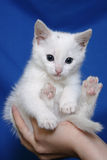 White kitten on a hand. On a dark blue background a white kitten on a hand,three months old Stock Photo