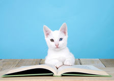 White kitten with heterochromia eyes reading book. Portrait of one cute white kitten with heterochromia, or odd-eyes laying on a story book on a wood floor Royalty Free Stock Images