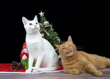 White kitten with heterochromia and orange tabby cat opposite expressions Royalty Free Stock Photos