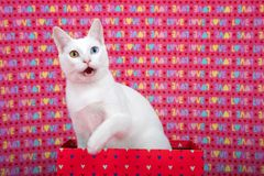White kitten with heterochromia in a valentine box, mouth open. Portrait of a white kitten with heterochromia sitting in a pink with hearts, paw up over the side Stock Images